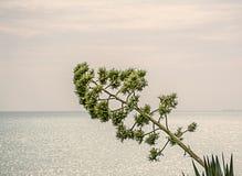 Grodd av agave på havsbakgrunden Arkivfoto