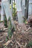 Grodd av bambu Royaltyfri Fotografi