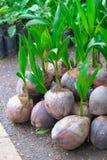 Grodd av kokospalmen på jordning Royaltyfri Foto