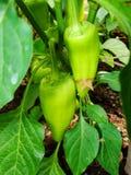 Grodd av paprikan som växer i en kökträdgård Bulgarisk pepparpaprika Grön varm habanerochilipeppar Arkivfoto