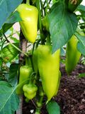 Grodd av paprikan som växer i en kökträdgård Bulgarisk pepparpaprika Grön varm habanerochilipeppar Royaltyfri Fotografi