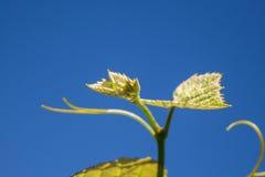 Grodd av vitisen - vinifera, druvavinranka Fotografering för Bildbyråer