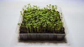Groddar av grönsallat i en plast- behållare royaltyfri bild