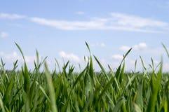 Groddar av grönt gräs på en bakgrund av blå himmel royaltyfri fotografi