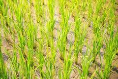 Groddar av ris i risen terrasserar i Filippinerna Ris c Arkivbilder