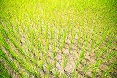 Groddar av ris i risen terrasserar i Filippinerna Ris c Royaltyfria Bilder