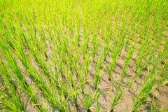 Groddar av ris i risen terrasserar i Filippinerna Ris c Arkivfoton