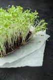 Groddar för salladgrönsak, mikro-gräsplan på en svart bakgrund, vertikalt royaltyfri foto