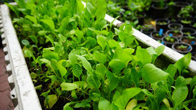 Groddar planterades på jordningen i cementbärtråg för murbruk Fotografering för Bildbyråer