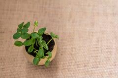 Groddarna växer från ägget brown räknad dagjord som miljölövverk går den gående gröna treen för text för slogan för ordstäv för k Royaltyfri Bild