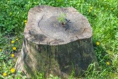 Grodden av det kastanjebruna trädet växer på en stump royaltyfri bild