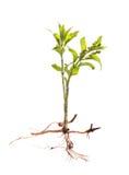 Grodden av ett träd med rotar isolerat Royaltyfria Bilder
