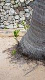 Grodden av palmträdet med litet gömma i handflatan rotar på sand Fotografering för Bildbyråer