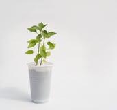 Groddpeppar i den vita koppen Fotografering för Bildbyråer