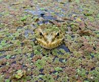 grodor för 1 ögon Arkivfoto