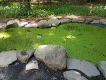 Grodor i alger fyllde dammet Arkivfoton