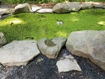 Grodor i alger fyllde dammet Arkivbild