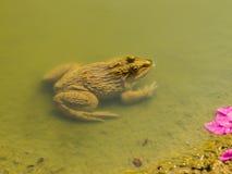 Grodor i vatten Fotografering för Bildbyråer
