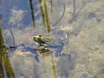 Grodor i vattnet Arkivbild