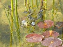 Grodor i vattnet Fotografering för Bildbyråer