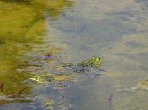 Grodor i vattnet Royaltyfri Fotografi