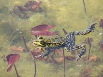 Grodor i vattnet Royaltyfri Bild