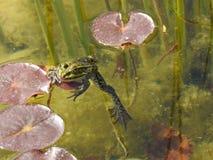 Grodor i vattnet Arkivbilder