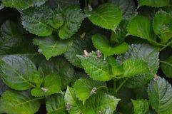 Grodor på vanlig hortensiasidor Arkivbild