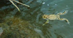 Grodor som simmar i sjön på våren - grodan som sitter på, vaggar lager videofilmer