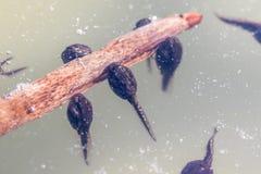 Grodynglar (grodor i den Larval etappen) som är undervattens- på en stjälk Fotografering för Bildbyråer