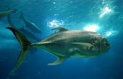 Große Fische Stockfotos