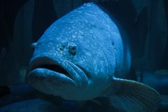 Große Fische in einem Aquariumbecken Lizenzfreie Stockfotos