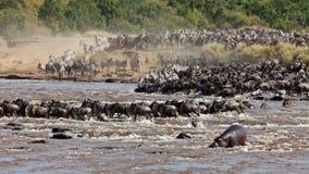 Große Gruppe von Wildebeest den Fluss Mara kreuzend Lizenzfreies Stockbild