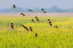 Große Gruppe weniger pfeifender Ente Stockfotos