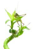 Große Heuschrecke, die auf einer Grünpflanze auf einem weißen Hintergrund sitzt Lizenzfreie Stockfotos