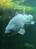 Große Karpfen Unterwasser Stockfotografie