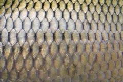 Große Karpfenskalen Lizenzfreies Stockfoto