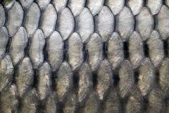 Große Karpfenskalen Stockfoto