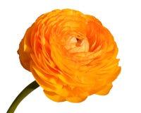 Große Mohnblumeblume Stockbilder