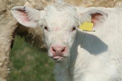 Große Ohren Lizenzfreies Stockfoto