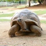 Große Seychellen-Schildkröte. Schließen Sie oben an einem sonnigen Tag Stockbilder