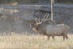 Große Stier-Elche Bugling im Nebel Lizenzfreie Stockfotos