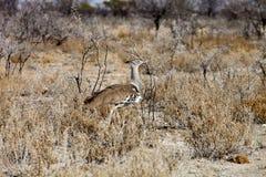 Große Trappe, Ardeotis-kori, im Busch Namibia Lizenzfreies Stockfoto