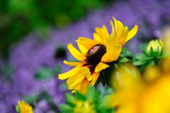 Große vibrierende gelbe Blume Stockfoto