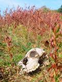 Große Wiesen tragen Feld und Rotwildschädel auf Stockbild
