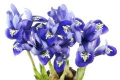 Groeien de blauwe irissen van de lente van bollenmacro Stock Afbeeldingen
