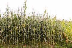 Groeiend Zoete maïsgebied Stock Foto's
