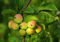 Groeiende appelen royalty-vrije stock afbeeldingen