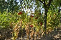Groeiende biogroenten Stock Afbeeldingen