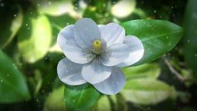 groeiende de tijdtijdspanne van de magnoliabloem Royalty-vrije Stock Foto
